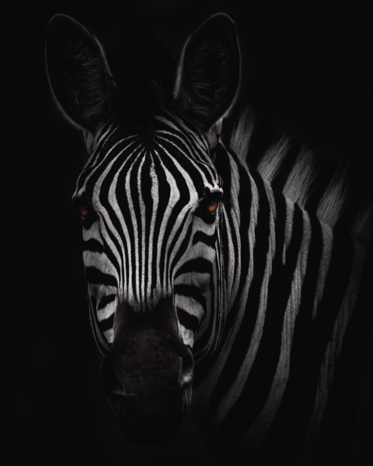 black white zebra wallpapers